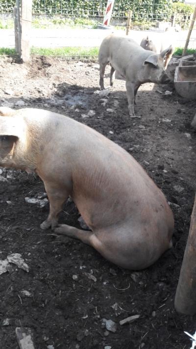 Schweinealarm!